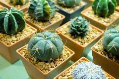 Cactus en un pote Imagen de archivo libre de regalías
