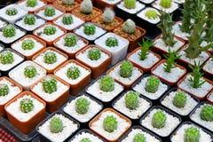 Cactus en un pote Imagenes de archivo