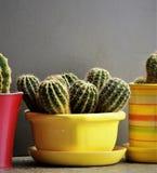 Cactus en un pote amarillo Foto de archivo libre de regalías