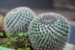 Cactus en un pote en el jardín foto de archivo