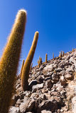 Cactus en una cuesta de montaña en reserva nacional de los flamencos del Los Fotos de archivo