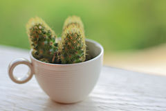 Cactus en una taza de café Foto de archivo libre de regalías