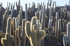 Cactus enorme e Salar di Uyuni con cielo blu, Bolivia immagine stock