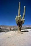 Cactus enorme in Humahuaca, Salta, Argentina Immagini Stock Libere da Diritti