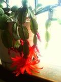 Cactus ensoleill?s en fleur photo stock