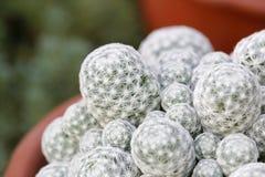 Cactus envuelto en la acupuntura blanca Foto de archivo