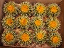 Cactus esféricos Fotos de archivo