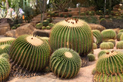 Cactus esféricos grandes, Tailandia, Imagenes de archivo