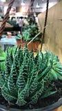 Cactus especial fotos de archivo libres de regalías