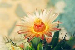 Cactus espinoso foto de archivo libre de regalías