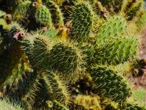 Cactus espinoso fotografía de archivo libre de regalías