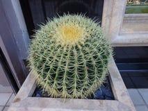 Cactus espinoso fotografía de archivo