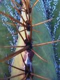 Cactus espinoso royalty free stock photo