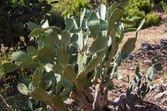Cactus espinoso: Opuntia, cactus hermoso grande ficus-indica, indio con las agujas en un jardín Se encuentra extensamente en el m fotografía de archivo libre de regalías