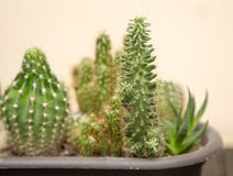 Cactus espinoso verde en el hogar fotos de archivo