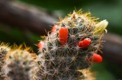 Cactus espinoso verde floreciente con las bayas rojas, frutas del cactus fotografía de archivo