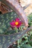 Cactus et fleur de désert photographie stock