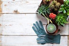 Cactus et fond fleurissants de succulents Collection de divers usines de maison et gants de jardinage sur le fond en bois blanc photographie stock libre de droits