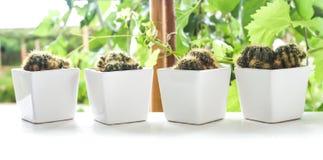 Cactus et plantes juteuses dans un pot blanc Cactus de cactus sur s blanc Photo stock