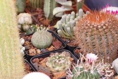 Cactus et succulents de jardinage Photos libres de droits