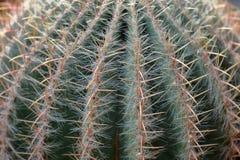 Cactus ex?tico raro imagen de archivo