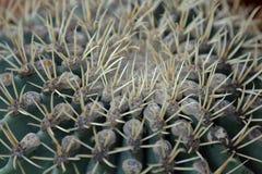 Cactus ex?tico raro foto de archivo