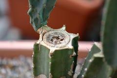 Cactus ex?tico raro fotos de archivo