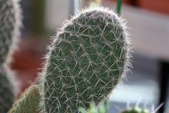 Cactus ex?tico raro imagenes de archivo