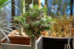 Cactus exotique rare images libres de droits