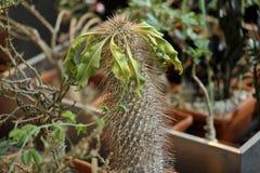 Cactus exotique rare photo stock