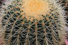 Cactus, extreme closeup. At Cameron highlands, Malaysia Royalty Free Stock Photos