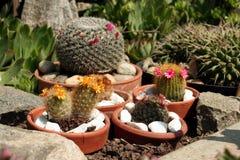 The cactus family. Flowering in cheramic pot Stock Photos