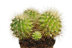 Cactus family Royalty Free Stock Photography
