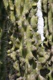 Cactus family Stock Photography