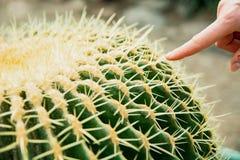 Cactus Family, close-up barrel cactus. thorn cactus texture background. Close up royalty free stock photos