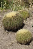 Cactus family Royalty Free Stock Images