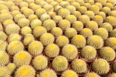 Cactus farm. Farm producing cacti for decorative gardening and landscaping royalty free stock photos