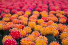 Cactus farm Stock Photography
