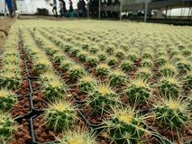 Cactus farm Stock Image