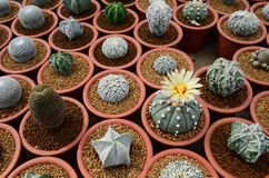 Cactus farm selective focus Stock Photo