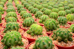 Cactus farm selective focus Stock Images