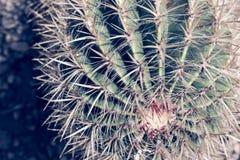 Cactus Fermez-vous de l'usine verte de succulent ou de cactus avec les transitoires pointues dehors images libres de droits