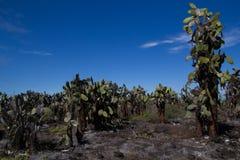 Cactus Field. A field of cactuses on Santa Cruz, Galapagos Islands (latin Opuntia Royalty Free Stock Images