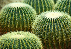 Cactus. Field close uo and detail royalty free stock photos