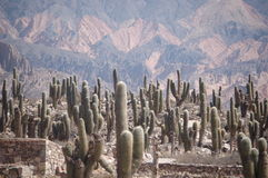 Cactus field in colourful mountain area. Cactus field at ancient indigenous ruins in Tilcara canyon Unesco natural heritage site, northern Argentina Stock Image