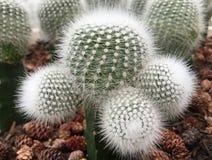 Cactus field Stock Photo