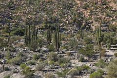 Cactus fields in Mexico,Baja California. Mexico Stock Images