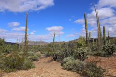 Cactus fields in Mexico, Baja California Royalty Free Stock Photo