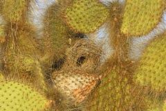 Cactus Finch Nest in un cactus Fotografie Stock Libere da Diritti