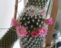 Cactus in fiore Immagine Stock Libera da Diritti